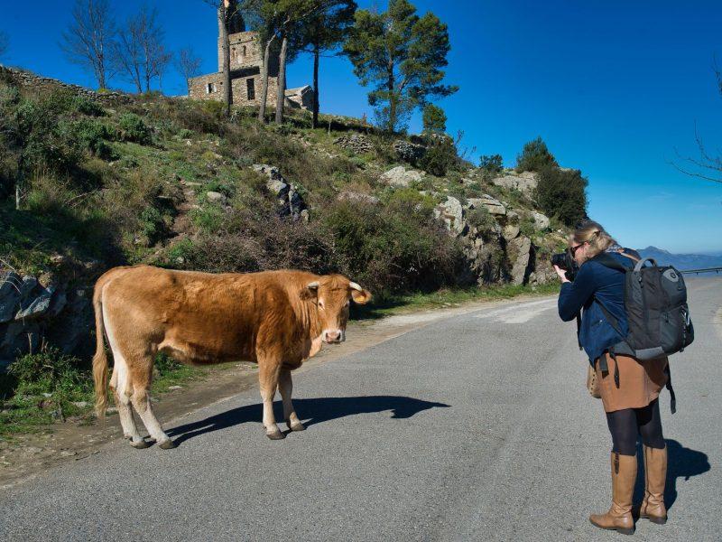 Vache Catalane