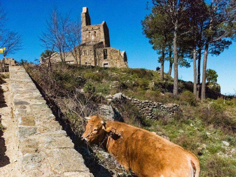 Vache et bovins en Catalogne