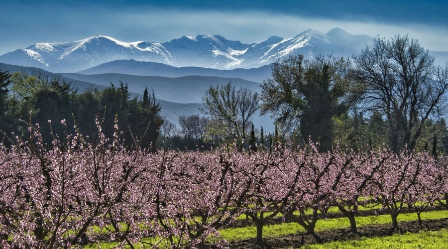 Mont Canigou et fleurs