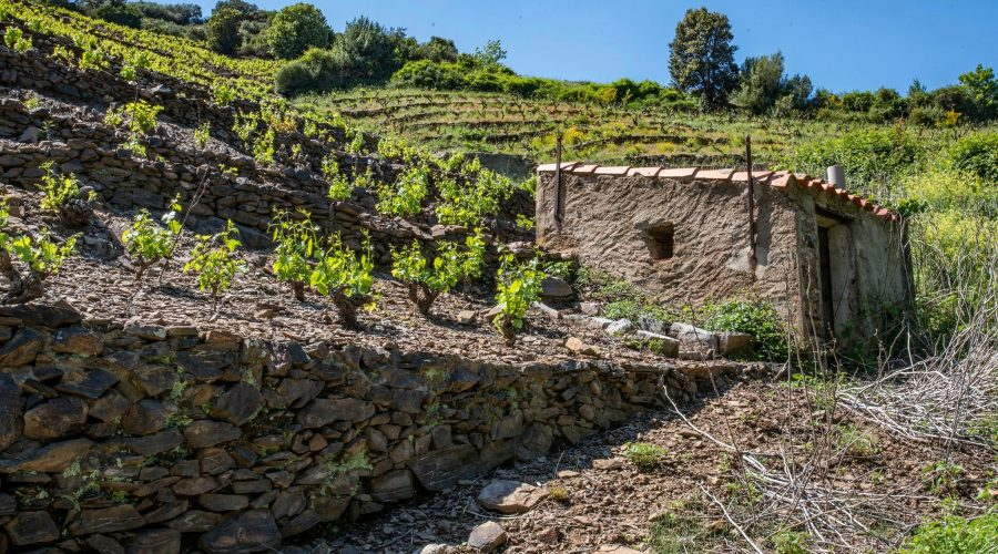 Viticulture à Banyuls-sur-Mer
